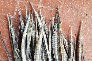 Thương lái Hải Phòng mua cá ngựa xương ở Cà Mau