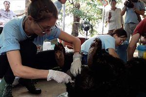 Cứu hộ một cá thể gấu đực nặng 120kg nuôi nhốt tại nhà dân