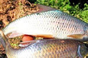 Chuyện săn cá sỉnh bé tí-sản vật quý Tây Bắc ví như trời đất ban tặng