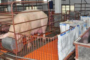 Giá heo hơi mới nhất 15/11: Giảm về 45.000 đồng/kg, tăng cảnh giác với dịch tả lợn