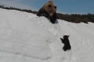 Clip 'gấu con vượt núi tuyết đến với mẹ' vì sao gây tranh cãi?