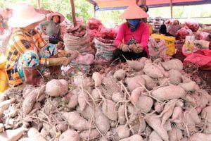 Đổ xô trồng, khoai lang rớt giá, người trồng lâm nợ