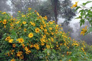 Chiêm ngưỡng rừng hoa dã quỳ Ba Vì đua sắc