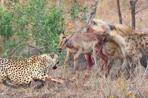 Clip: Đàn linh cẩu 'đánh đuổi' báo săn, cướp linh dương vô cùng ngoạn mục