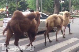 Clip: Người dân Thủ đô hiếu kỳ xem lạc đà đi dạo trên phố