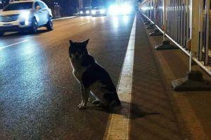 Chú chó trung thành ngồi đợi suốt 80 ngày tại nơi chủ qua đời vì tai nạn giao thông