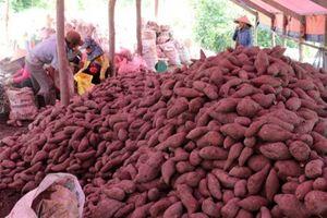 Giá khoai lang tại Kiên Giang giảm sâu, người trồng lỗ nặng