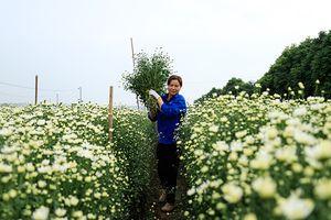 Người Nhật Tân thu bạc triệu mỗi ngày từ cúc họa mi đầu mùa