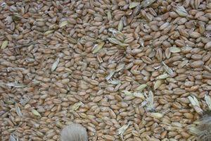 Khẩn cấp tái xuất 1,8 triệu tấn lúa mì nhiễm cỏ kế đồng khỏi Việt Nam