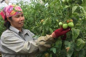 Sống khỏe, thu khá tiền nhờ trồng cà chua VietGAP trái sai 'phát hờn'