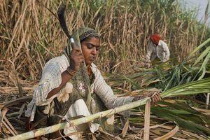 Mâu thuẫn giữa Australia và Ấn Độ trong lĩnh vực mía đường gia tăng