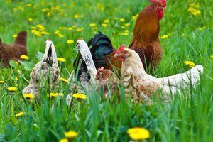 Sự khác biệt giữa trứng gà hữu cơ và trứng gà thả rông mà nhiều người đang lầm tưởng là cùng một loại