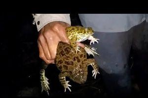 Mưa tháng 10, soi gốc rạ, bắt ếch đồng làm chả trộn da chiên trứng
