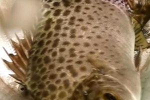 Kiên Giang: Cho cá nâu ở chung với tôm sú, 6 tháng đã có lời to