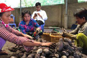 Trung Quốc ngừng mua khoai lang, nông dân vẫn 'liều mình' xuống vụ mới