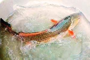 Bắt được cá 'lạ' nghi sủ vàng đẹp 'như tranh'