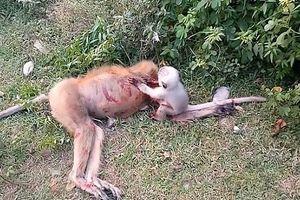 Khỉ con đau đớn khóc thành tiếng, lay mãi xác mẹ bị ô tô đâm