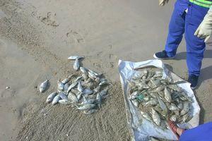 Tổng cục Môi trường chỉ ra nguyên nhân cá chết tấp vào bãi biển Đà Nẵng