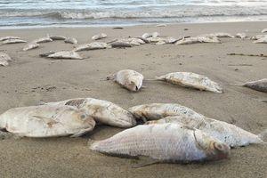 Đã xác định nguyên nhân cá chết hàng loạt ở Đà Nẵng