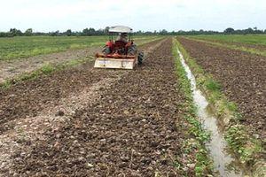 Vĩnh Long: Trung Quốc ngừng mua khoai lang, nông dân vẫn xuống vụ mới