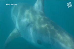 Thợ câu phát hiện cá mập khổng lồ ngay dưới mạn thuyền