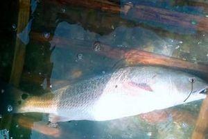 Bắt được cá lạ nặng 1,3 kg, nghi là cá sủ vàng
