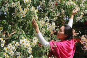 Dã quỳ ra hoa trắng tinh khôi đẹp độc nhất ở xứ sở sương mù