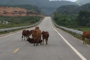 Hà Tĩnh: Đường 52 tỷ không bóng người, bò nhởn nhơ đi lại
