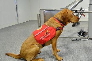 Loài chó có thể phát hiện bệnh sốt rét