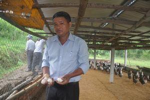 Nuôi gà Ai Cập lấy trứng phù hợp với vùng đồi Sơn Tịnh