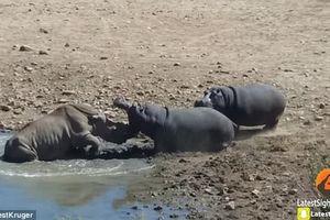 Tê giác liều mạng uống nước bị hà mã dìm chết đuối