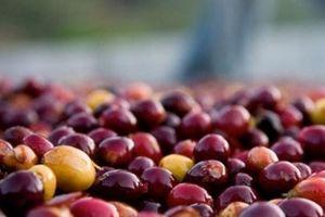 Giá nông sản hôm nay 19/11: Cả giá cà phê lẫn giá tiêu đều 'ảm đạm'