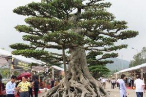 Hàng ngàn 'cụ' bonsai, cây cảnh tiền tỷ hội tụ về Thủ đô