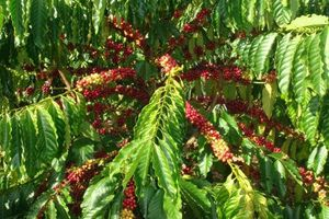 Khám phá thú vị giống cà phê vối, trồng nhiều ở VN