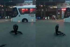'Rắn hổ mang bành' bất ngờ xuất hiện trên phố Nha Trang khiến nhiều người kinh hãi
