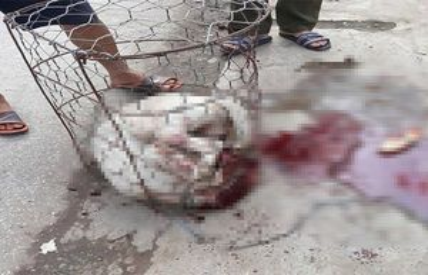 Hà Nội: Chó Pitbull 30kg cắn chủ và hàng xóm nhập viện