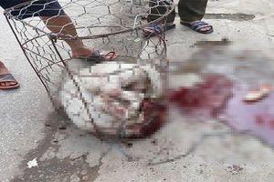 Pitbull tấn công chủ và người hàng xóm ở Hà Nội: Loài chó 'sát thủ máu lạnh'