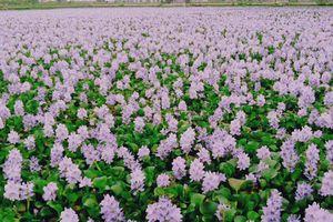 Clip: 'Lạc bước' vào cánh đồng hoa lục bình đẹp như tiên cảnh ở đồng bằng sông Cửu Long