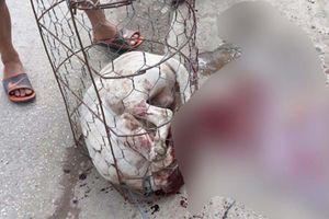 Chó Pitbull hung dữ lao khỏi lồng sắt cắn nữ chủ nhà và hàng xóm bị thương, dân làng hô hoán cầm gậy đánh chết