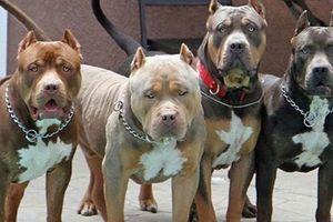 Chó Pitbull cắn chủ nhà trọng thương đắt đỏ như thế nào?