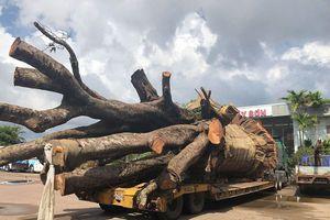 Bình Định: Tạm giữ xe đầu kéo chở cây 'siêu khủng'