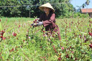 Quảng Ngãi: Người mang 'thần dược' Atiso đỏ về xứ Quảng