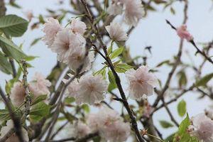 125 cây hoa anh đào Nhật Bản được trồng tại Đà Lạt