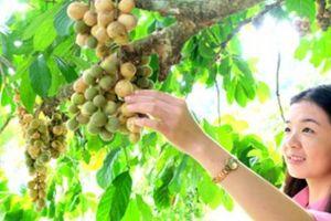 Về 'thủ phủ' Tiên Phước, nơi thưởng thức trái lòn bon ngon nhất