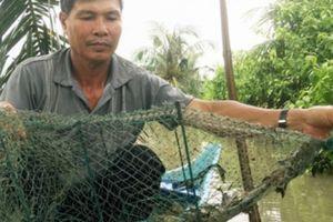 Nuôi tôm sú an toàn, không kháng sinh: Lợi ích thấy rõ