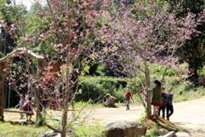 Hình thành quần thể hoa anh đào Nhật Bản tại Đà Lạt