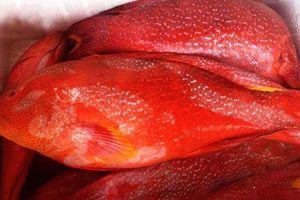 Mục sở thị cá mú đỏ triệu đồng/kg 'hút' nhà giàu Việt