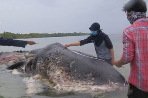 Phát hiện cá nhà táng chết với 6 kg nhựa trong bao tử