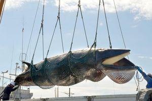 Sai lầm của con người khi săn bắt cá voi vô tội vạ
