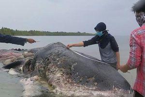 Phát hiện hơn 1.000 mảnh nhựa bên trong xác cá voi tại Indonesia